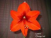 Lowe's Orange Red amaryllis