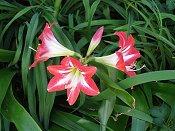 Red white Star