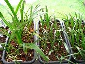 amaryllis seedlings 6-25-14