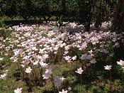 Australian Habranthus