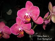 Orchid 3 Mary Ames x Ever Spring Girl