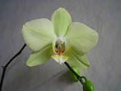 Orchid 4 Yellow Green