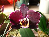 Orchid 6 Dark Purple