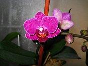 Orchid #7 Purple Mini
