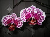 Orchid 9 White with Purple Pattern