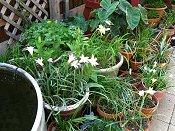Pots of rain lilies