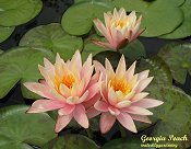 GEORGIA PEACH hardy water lily